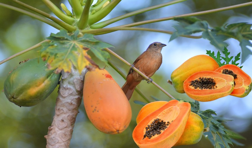https://10tv.in/life-style/do-you-eat-papaya-with-benefits-293019.html
