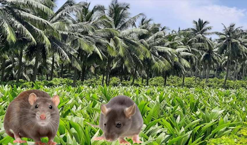 https://10tv.in/agriculture/how-to-control-rats-in-cocoa-and-coconut-plantations-290379.html