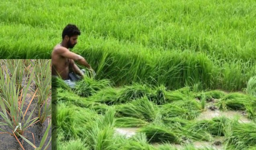 https://10tv.in/agriculture/measures-to-be-taken-for-zinc-deficiency-in-rice-295124.html